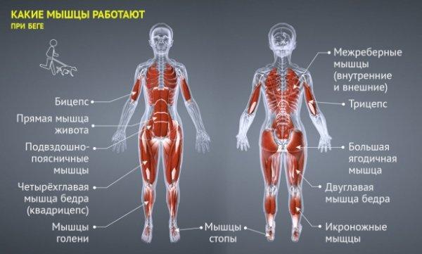 работа мышц в пробежке