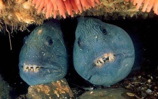 Зубатка: польза и вред, диетические свойства рыбы, рецепты