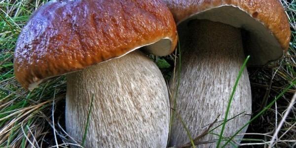 белый гриб состав и калорийность